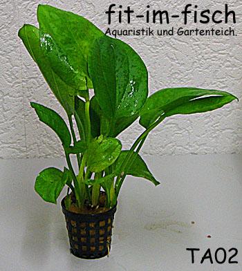 2 topf anubias barteri barschpflanze wasserpflanzen ebay for Robuste zierfische