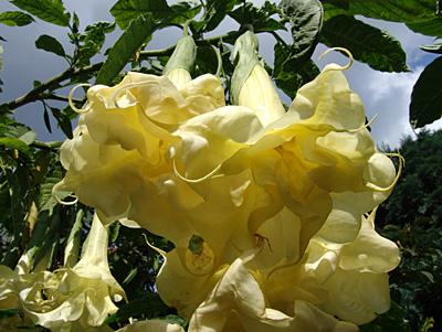 engelstrompete sun angel jungpflanze im 9 cm topf. Black Bedroom Furniture Sets. Home Design Ideas