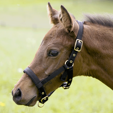Headcollar Foal by Kieffer