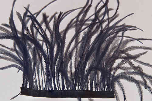 "ostrich feathers natur on trim 3-7"" black"