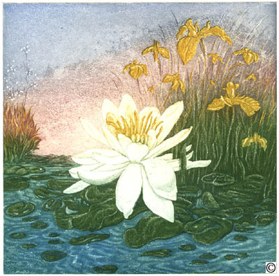 B16 - Water-Lily and yellow Iris
