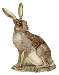 T15 - Hare