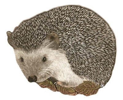 T20 - Hedgehog