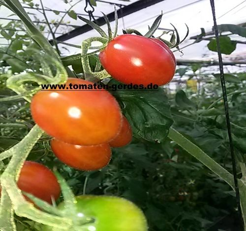 Tomate Small Egg Wildtomate