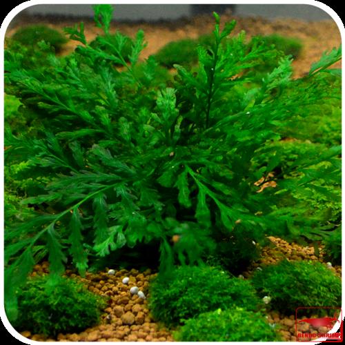 pflanzen f r den hintergrund g nstig kaufen rendo shrimp shop. Black Bedroom Furniture Sets. Home Design Ideas