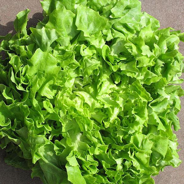 Salanova Ruck Zuck Salat Grün