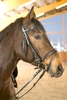 Bridle Basic Plus