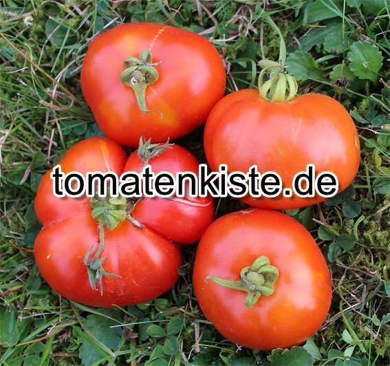 Tomaten Roter Russe
