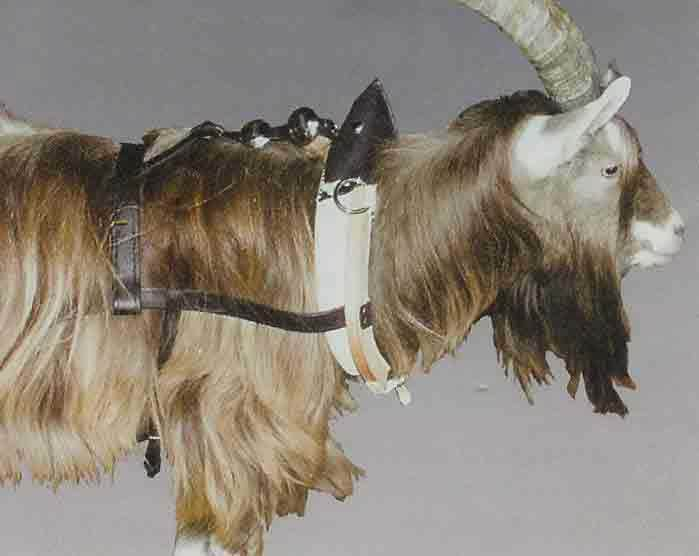 Goat collar harness