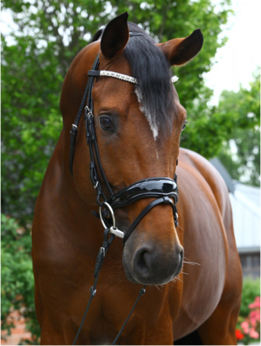 Anatomical varnish bridle